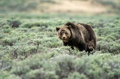 Grizzly Bear Mauls Lone Hiker In Yellowstone National Park